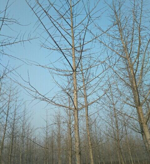 徐州邳州市銀杏實生樹