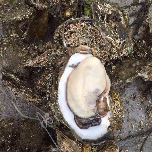 广州荔湾区台山蚝 4-5两/只 海水 3-4两/只 冷冻水产 2-3两/只