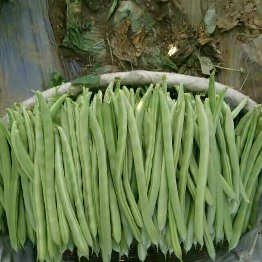 保山隆阳区芸丰四季豆 15cm以上