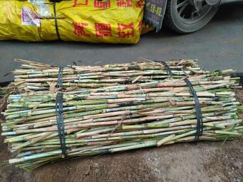 赣州章贡区甜象草