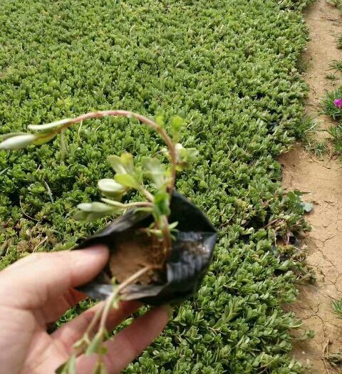 潍坊青州市马鞭草种子