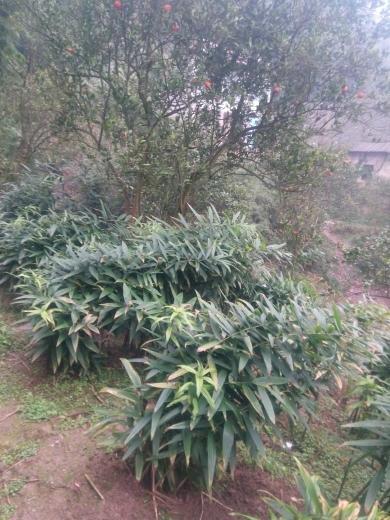 重庆合川 产地直销多花姜型甜黄精,统货,选货,块茎,芽头,苗子,种子。