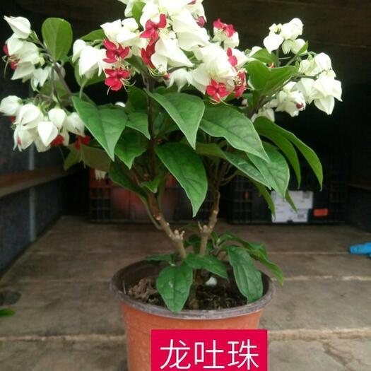 青州市蛇莓