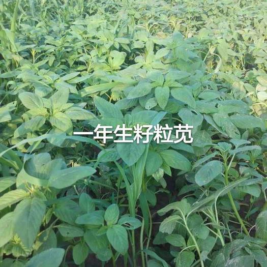 梁山县籽粒苋种子