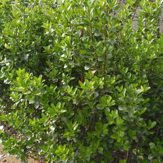 泰安大葉冬青 出售多分枝大葉黃楊高度50公分左右