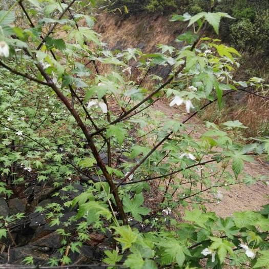 湖州安吉县覆盆子种苗