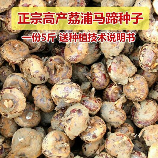 荔浦市荔浦马蹄 荸荠种种子优质高产免费提供种植资料 量大批发