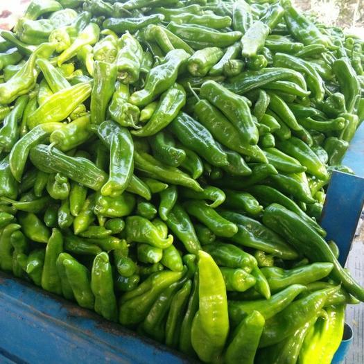 米易县菜椒 四川青椒 泡椒 二荆条 大量有货 专业团队多年代办经验