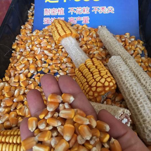 運城永濟市 中種國際玉米種子迪卡653 進口種子 抗病抗倒伏軸細硬適機收