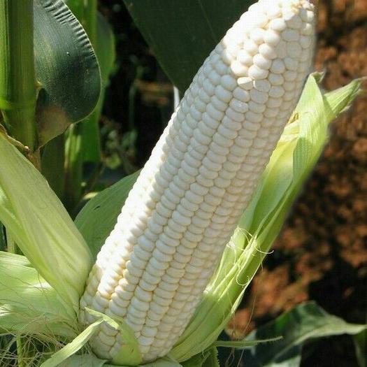 鄭州金水區 大棒糯玉米種子 微甜  長28公分 客戶回頭率高200克裝