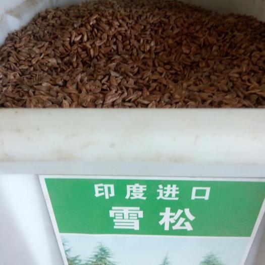 沭阳县雪松种子 日本进口