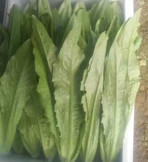 邯郸永年区美冠油麦菜 25~30cm以上