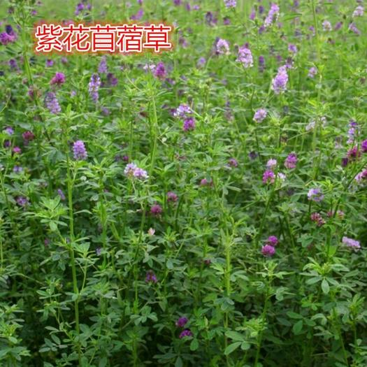 潍坊寿光市苜蓿草种子