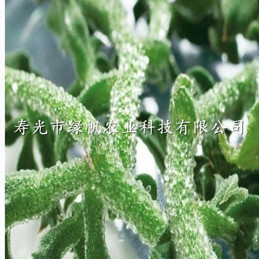 潍坊寿光市非洲冰草 无公害