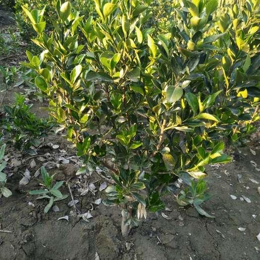 泰安大葉冬青 出售多分枝大葉黃楊高度40至80公分