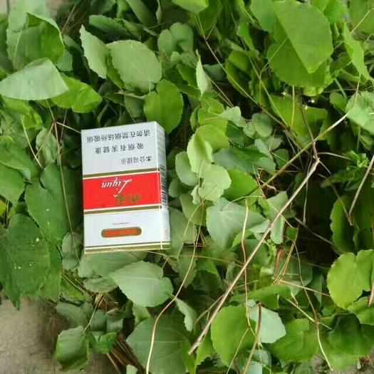 定西陇西县淫羊藿种苗