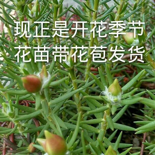 肇庆德庆县太阳花种子