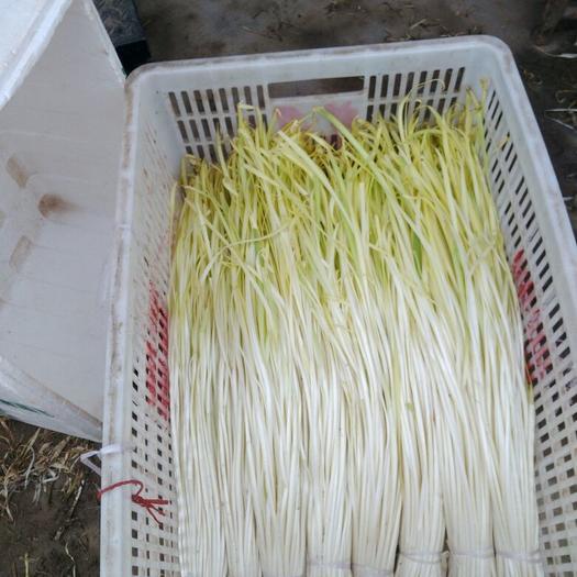 资阳雁江区大叶韭黄 二茬 60~70cm