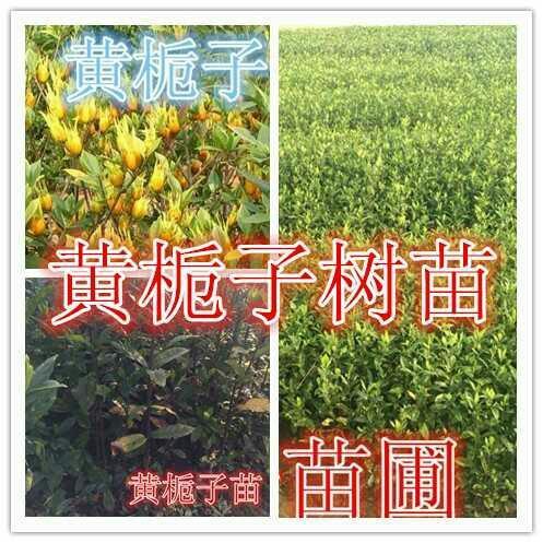 灵山县黄栀子苗