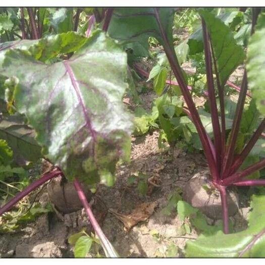 徐州沛县红甜菜 15cm以上