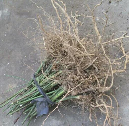 杭州富阳区覆盆子种苗
