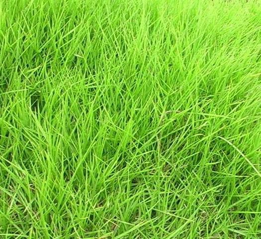 南京江宁区结缕草种子