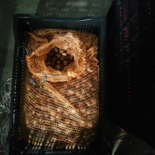 成都唐菖蒲种球 荷兰进口唐菖蒲种球