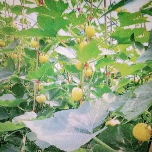 西安长安区金丝南瓜 0.7~1.0斤 扁圆形