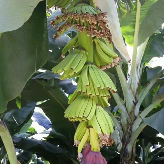 红河蒙自市河口香蕉