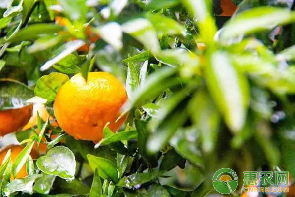 柑橘11-12月的栽培管理技术及注意事项