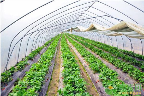 大棚草莓冻害发病规律及防治措施