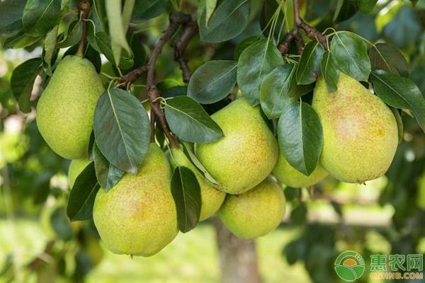 梨盆景养护