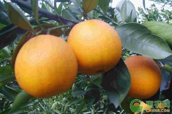 早熟温州蜜柑完熟栽培技术