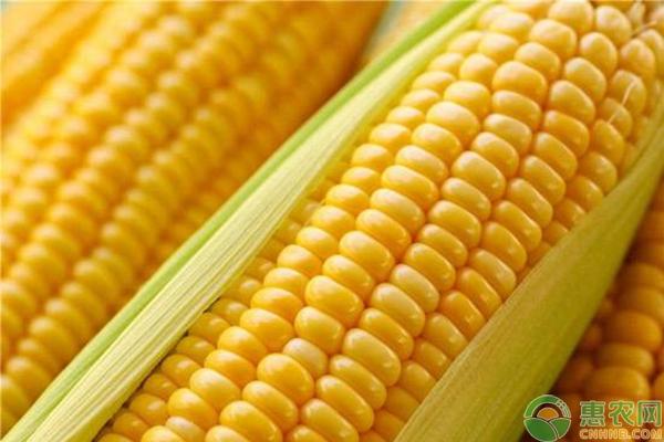玉米追肥尿素使用的注意事项