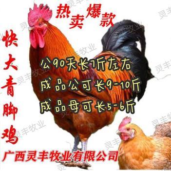 (快大青脚麻/铁脚麻鸡苗)孵房直供 包打疫苗灵丰公司第一总店