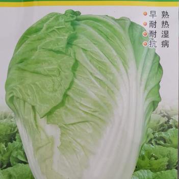(今日推荐)超级夏抗王白菜种子早熟耐热抗病