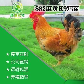 广西K9麻黄882广新901鸡苗批发 包打疫苗 运输负责