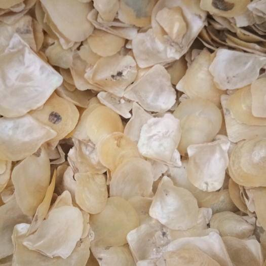 湛江雷州市脫皮珍珠貝 人工養殖