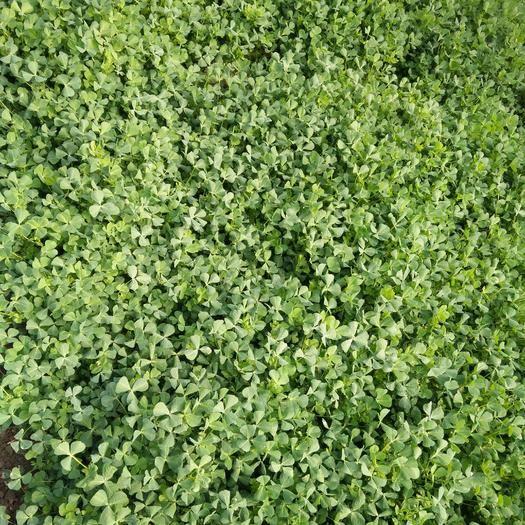 江苏省无锡市锡山区大叶金花菜 袋装 温室