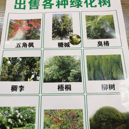 赤峰林西县白桦树苗