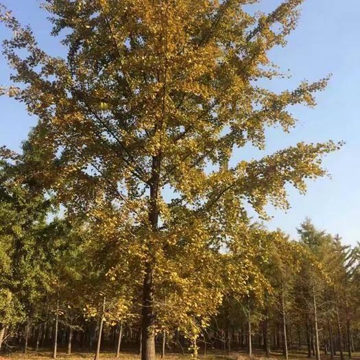 徐州邳州市古銀杏樹 30-60公分,產地直銷