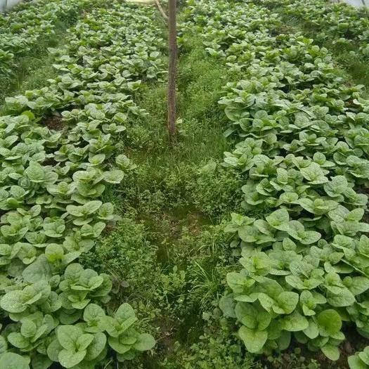 贵州省安顺市平坝区大叶木耳菜 绿色