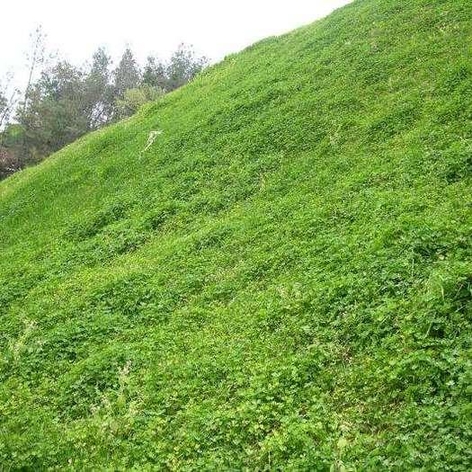 菏泽郓城县护坡草种子 高速路护坡河道两侧护坡水库护坡护坡种子包邮