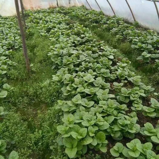 安顺平坝区大叶木耳菜 绿色