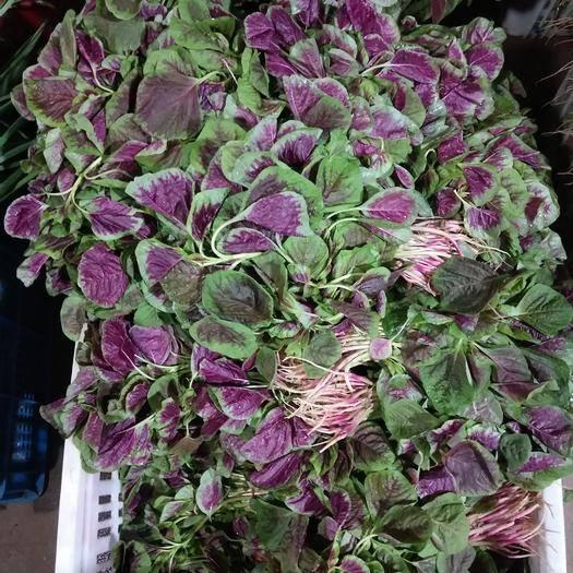 合肥瑤海區紅莧菜 15-20cm 紫紅
