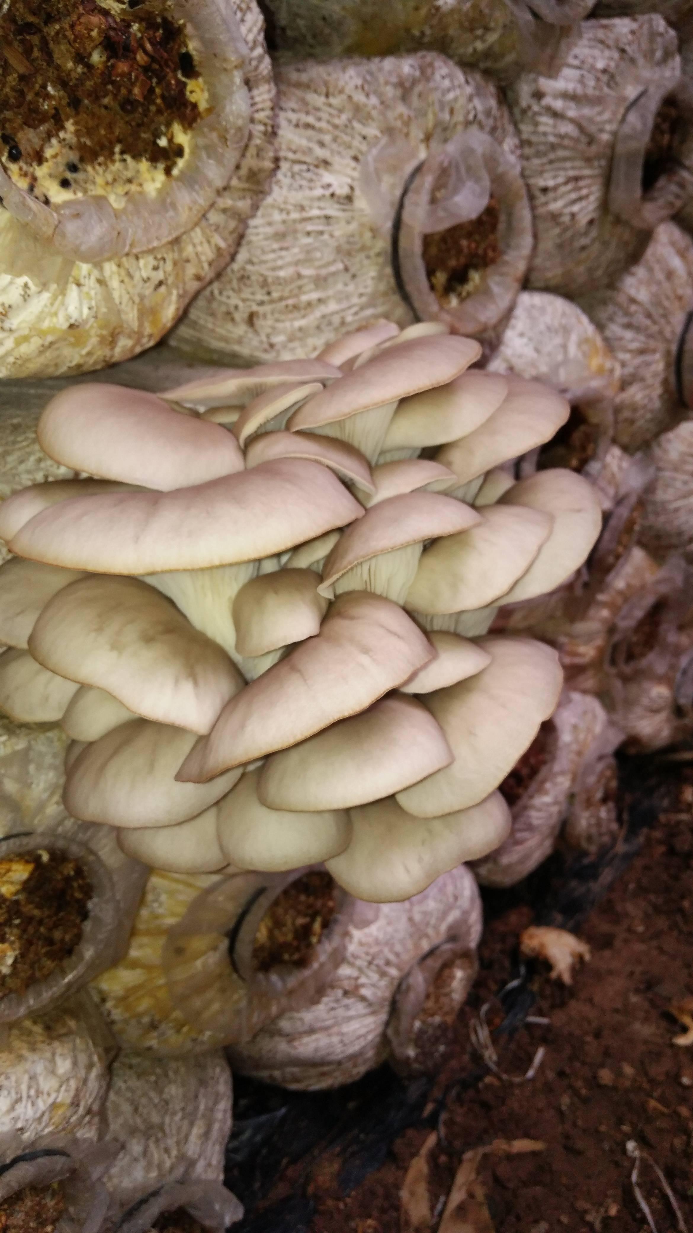 鲜平菇 5-7cm 厚 浅灰色