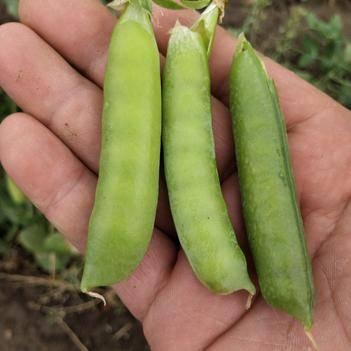 青豆荚 5-7cm 较饱满