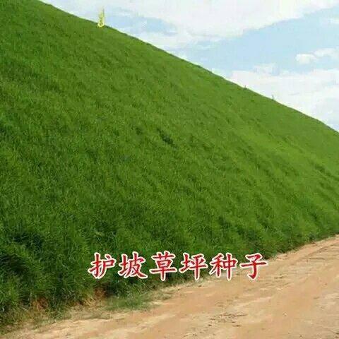 济宁嘉祥县护坡草种子 进口种子