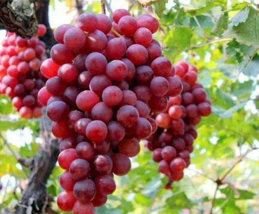 平乡县红宝石葡萄 1.5- 2斤 5%以下 1次果