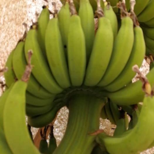 临高县仙人蕉 九成熟 40斤以下